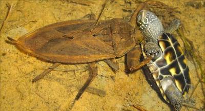 Насекомые №39 Гигантский водяной клоп (Lethocerus sp.): Фото, обсуждение